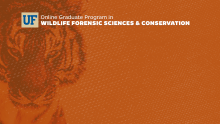 Zoom Virtual Background - Tiger with Online Graduate Program in Wildlife Forensic Sciences & Conservation